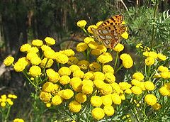 Tansy (from http://gardenology.org)